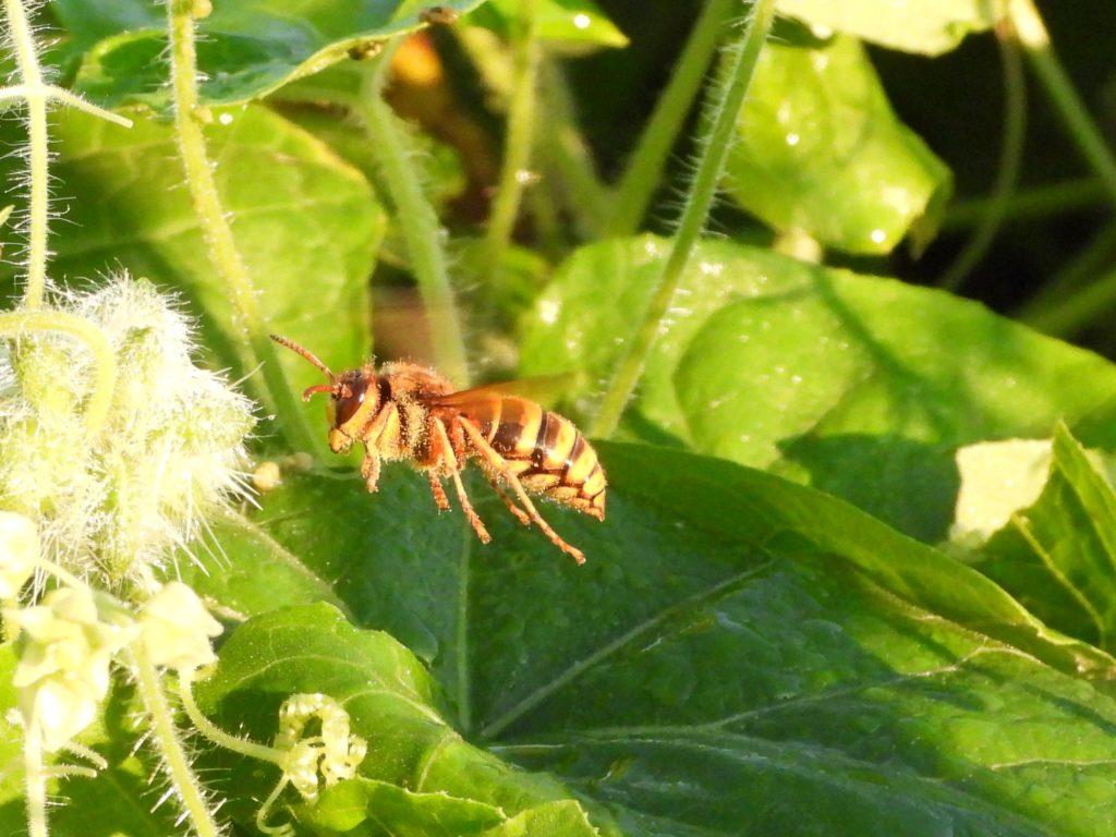 カマキリ スズメバチ